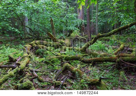 Deciduous stand with broken moss wrapped oak in foreground, Bialowieza Forest, Poland, Europe