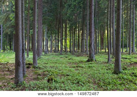 Rich coniferous forest in sunset with spruce and pine trees, Bialowieza Forest, Poland, Europe