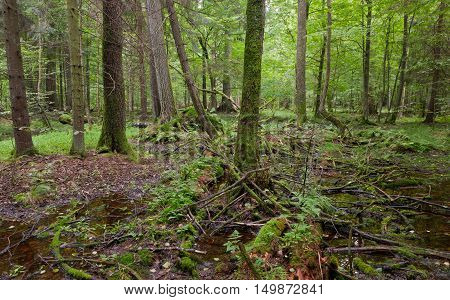 Springtime wet mixed forest with standing water and remains of declined tree, Bialowieza Forest, Poland, Europe