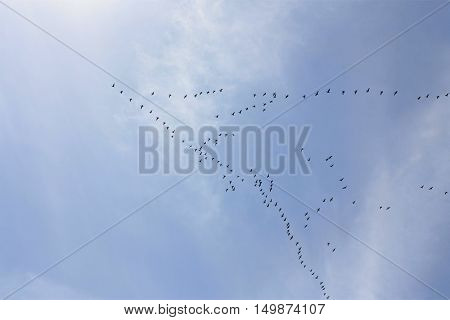 Large wedge of flying geese on a clear blue sky