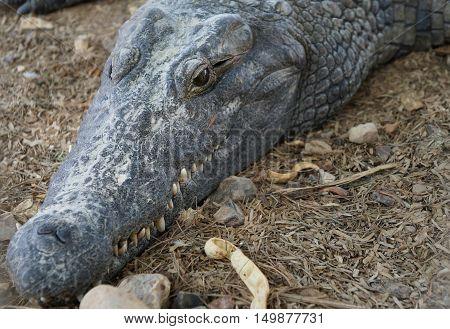 Nile crocodile (crocodylus niloticus) resting in a hot day