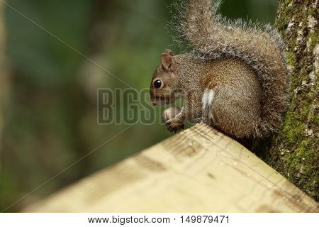 Squirrel Sitting on Fence Gnawing On Nut