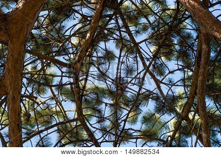 Scots pine (Pinus sylvestris) canopy branches from below. Looking up at branching coniferous tree with needles and cones in front of blue sky