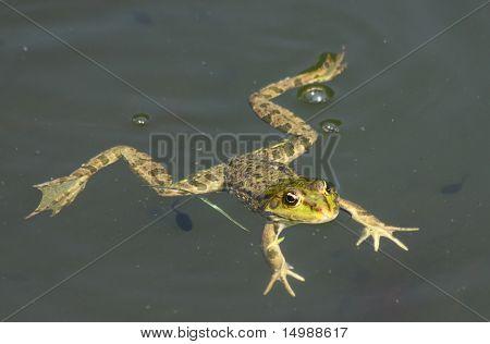 Big Green Frog (American Bullfrog)