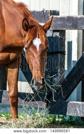 chestnut horse close up eating hay near the barn
