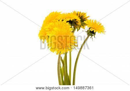 flower of dandelion isolated on white background
