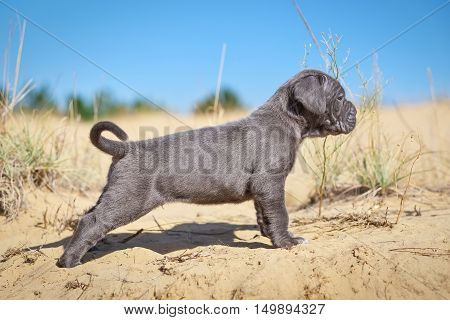 Beautiful young puppy italian mastiff cane corso (1 month) on the sand. Side view