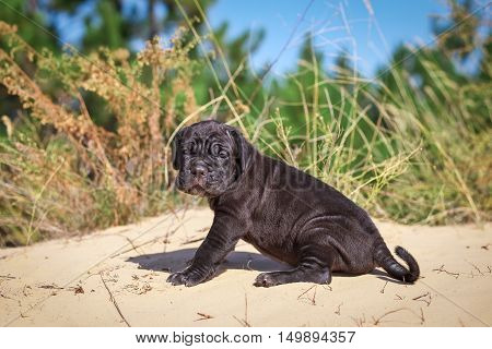 Beautiful young puppy italian mastiff cane corso (1 month) sitting in the sand with dry grass