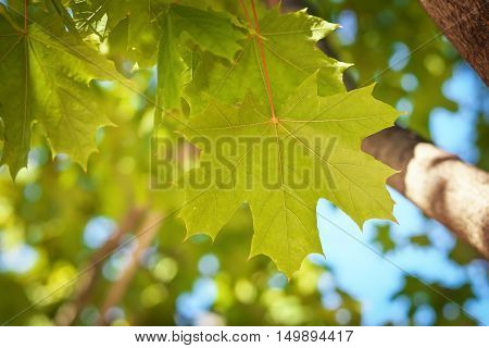 Green Maple leaves on contrasting blurred background.