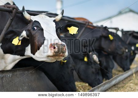 Cows are in stable peek through fences and eat dry hay in farm