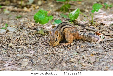 Detail of chipmunk foraging with nose to brown ground near green plants with selective focus.