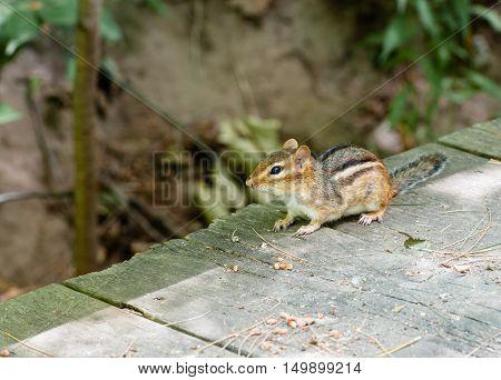 Alert chipmunk looking left standing on wood deck in shadow line against blurred vegetation.