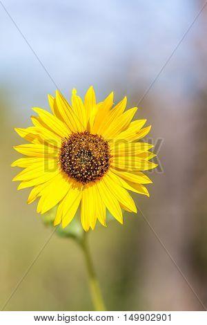 A closeup of a single wild sunflower in Kansas.