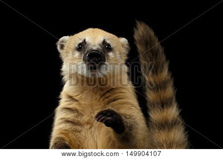 Close-up Portrait of Wild animal South American coati, Nasua Looking in Camera with Tail Isolated on Black Background