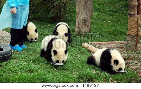 [Panda