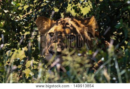 Lioness camouflaged in the shade in The Kruger National Park South Africa