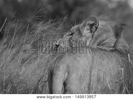 Lioness looks for possible prey at the Krugar National Park in South Africa.