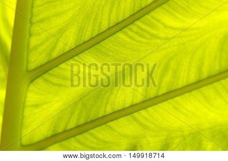 a backlit fresh green palm leaf ckose up