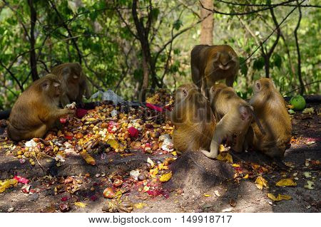 A macaca monkey family eating lot of fruits Phuket Thailand.