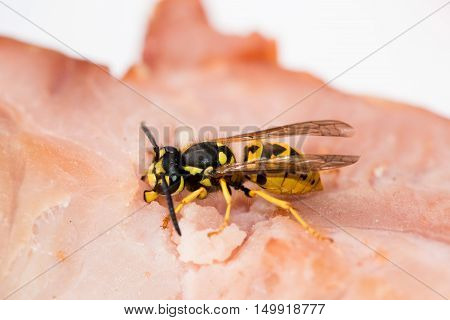 Close Up Of Wasp Hornet Eating Meat