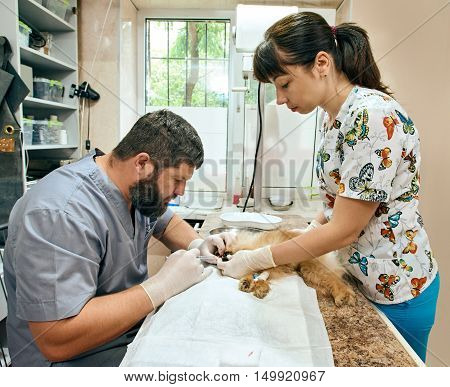 pomeranian Dog on an operating table at a veterinary dentist