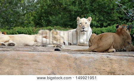 Lion Group With Great White Lioness
