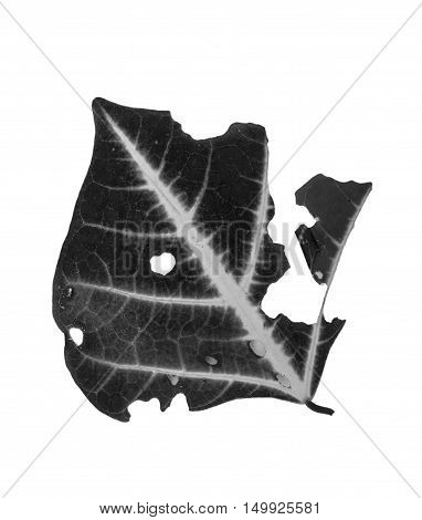 The green Leaf . with holes eaten by pests on white background. black white