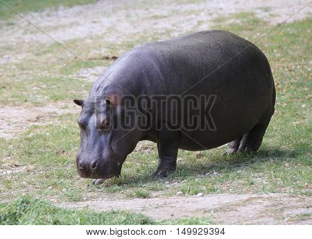 Heavy Hippo With Shiny Skin And Small Ears While Eating The Grass