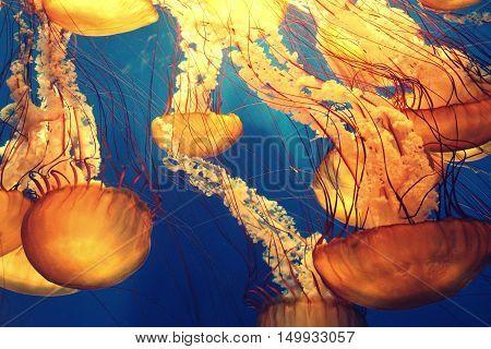 Yellow-Orange Deep Sea Marine Jellyfish Tentacles Underwater