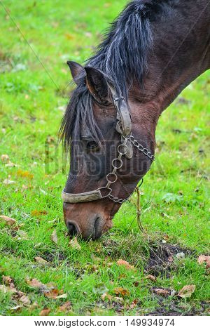 Young stallion on a green meadow eating yellow corn close uo view