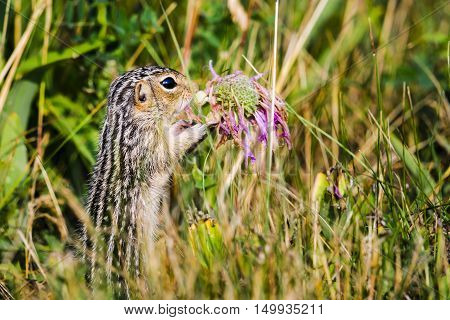 Thirteen-lined Ground Squirrel (ictidomys Tridecemlineatus)