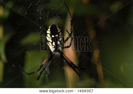 Garden Spider Detail27