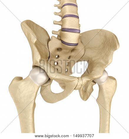 Medical accurate illustration : Pelvic area anatomy 3d render