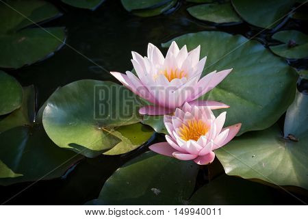 Detailed view of two tender pink water lilies. Beautiful lotus flowers in the pond.