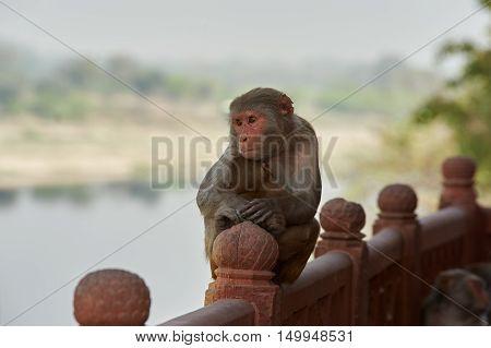 Indian Macaque Monkeys At The Taj Mahal Complex