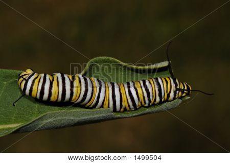 Monarch Caterpillar12
