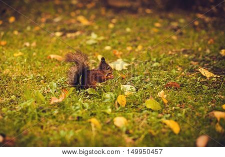squirrel sitting on the grass and chews nuts