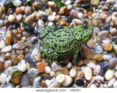 Oriental Fire Bellied Toad 2