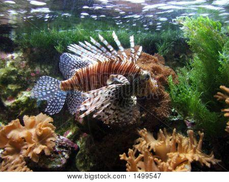 Turkey Fish Or 'Pterois Volitans'