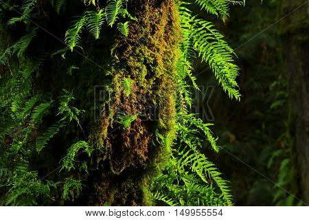 a picture of an exterior Pacific Northwest forest with a Big leaf maple tree with ferns