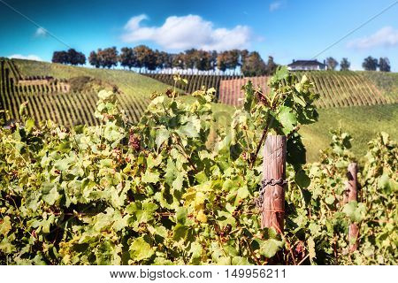 Landscape with autumn vineyards over blue sky. Agricultural background
