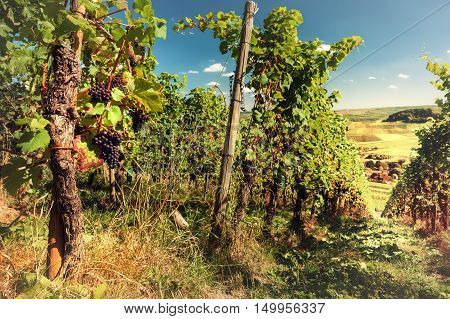 Landscape with autumn vineyards and organic grape on vine branches. Wine making concept