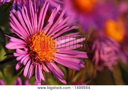 New England Aster16