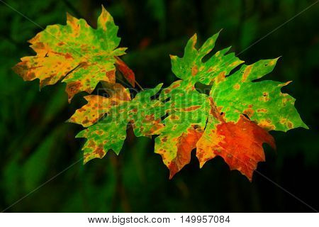 a picture of an exterior Pacific Northwest Big leaf maple leaf in fall