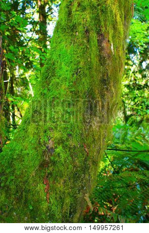 a picture of an exterior Pacific Northwest forest with a mossy Alder tree