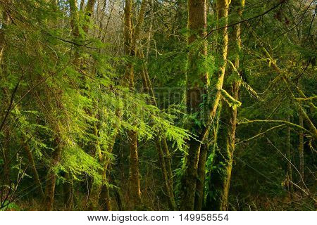 a picture of an exterior Pacific Northwest forest with alder and conifer trees