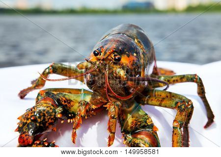 gourmet dinner live lobster on a white napkin lobster on the ond background