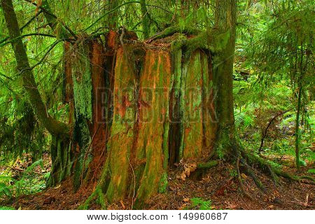 a picture of an exterior Pacific Northwest second growth  Western red cedar tree