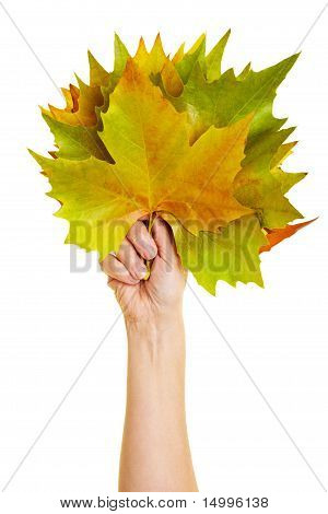 Holding Many Maple Leaves