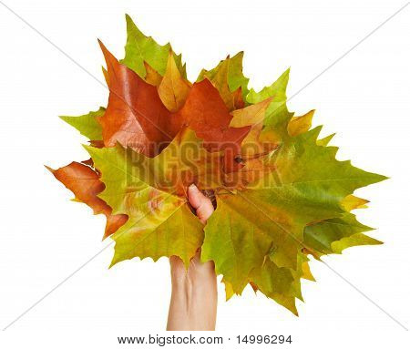 Hand Holding Maple Leaves